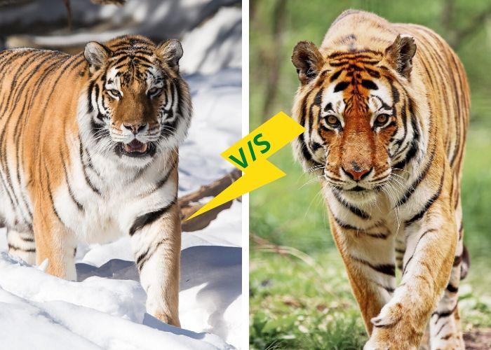 Siberian vs. Bengal